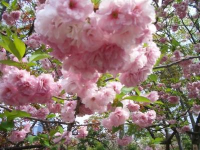 造幣局 八重桜