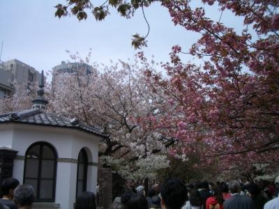 大阪造幣局 桜